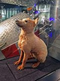 /eksponat faszerowaliśmy psa - astronauta wymieniająca Belka Moskwa, Rosja, Grudzień - 10, 2017 - fotografia royalty free