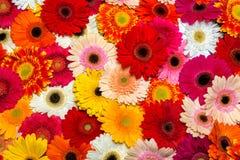 ekspresowej kwiatu kwiatów gerbera gerbers życia miłości makro- przyjemność słoneczna Obrazy Stock