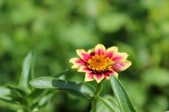 ekspresowej kwiatu kwiatów gerbera gerbers życia miłości makro- przyjemność słoneczna Zdjęcia Royalty Free