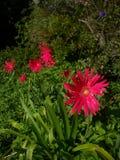 ekspresowej kwiatu kwiatów gerbera gerbers życia miłości makro- przyjemność słoneczna Fotografia Stock