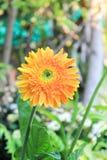 ekspresowej kwiatu kwiatów gerbera gerbers życia miłości makro- przyjemność słoneczna Zdjęcia Stock
