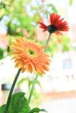 ekspresowej kwiatu kwiatów gerbera gerbers życia miłości makro- przyjemność słoneczna Zdjęcie Stock