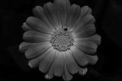 ekspresowej kwiatu kwiatów gerbera gerbers życia miłości makro- przyjemność słoneczna Obrazy Royalty Free