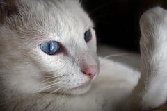 Ekspresyjny błękit Przyglądał się Białego kota Kłaść na poduszce, Analizować swój obraz stock