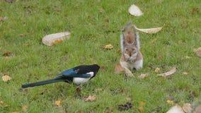 Ekster en eekhoorn stock footage