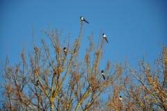 Eksters op een boom Royalty-vrije Stock Afbeelding