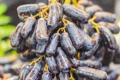 Ekstra olbrzymi rozmiar czarna beznasienna księżyc Opuszcza winogrona lub czarownicy żebro Zdjęcia Royalty Free