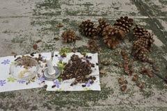 Ekstrahujące dokrętki od pinecone Fotografia Royalty Free