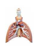 ekstrakcyjny ludzki płuco Fotografia Stock