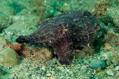 Ekstrawaganccy cuttlefish w Ambon, Maluku, Indonezja podwodna fotografia Zdjęcie Stock