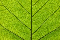 Ekstremum zamknięta up tekstura zielone liść żyły zdjęcia stock