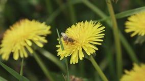 Ekstremum zamknięty pszczoła na żółtym dandelion kwiacie up Selekcyjna ostrość głębokość pola płytki Płytki DOF zbiory