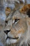 Ekstremum zamknięty up boczny portret Afrykański lew Obraz Royalty Free