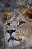 Ekstremum zamknięty up portret młody Afrykański lew Zdjęcie Royalty Free