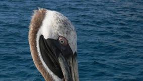 Ekstremum zamknięty w górę brązu pelikana blisko Isla San Cristobal w Galapagos zbiory wideo