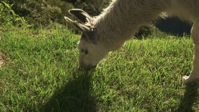 Ekstremum zamknięty w górę głowy żywieniowa lama przy machu picchu zbiory wideo