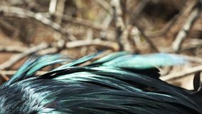Ekstremum zamknięty w górę iryzujących piórek frigatebird zdjęcie wideo