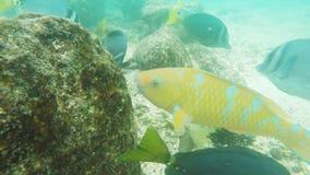 Ekstremum zamknięty w górę podbródek papugi ryby przy isla genovesa w Galapagos wyspach zbiory