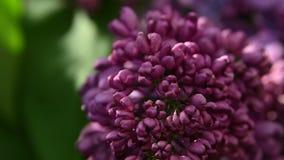 Ekstremum zamknięty w górę purpurowego bzu kwitnie nad zielonymi liśćmi zdjęcie wideo
