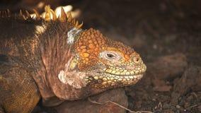 Ekstremum zamkni?ty w g?r? gruntowej iguany na p??nocnej seymour wyspie w Galapagos zdjęcie wideo