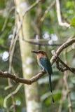 Elétron do Momotus, platyrhynchum do elétron, motmot largo-faturado, pássaros de Costa Rica fotos de stock