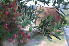 el马德里槽牙晚上橄榄色场面结构树 免版税图库摄影