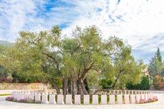 el马德里槽牙晚上橄榄色场面结构树 免版税库存照片