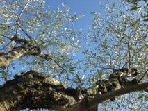 el马德里槽牙晚上橄榄色场面结构树 免版税库存图片