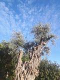 el马德里槽牙晚上橄榄色场面结构树 库存图片