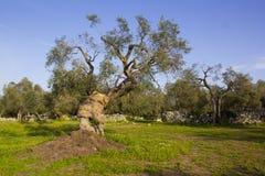 el马德里槽牙晚上橄榄色场面结构树 Salento,普利亚,意大利 免版税库存图片