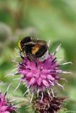 El ¡de Ð pierde-para arriba del lucoru amarillo-negro caucásico del Bombus del abejorro Foto de archivo