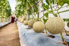 el ¹ del à €reen las plantas japonesas de los melones del cantalupo que crecen en jardín orgánico del invernadero foto de archivo