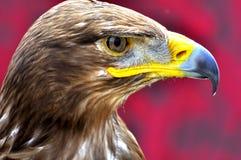 El águila Fotos de archivo