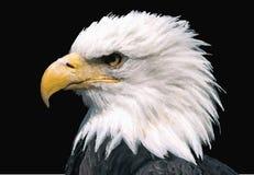 El águila Foto de archivo