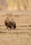 el águila Blanco-atada mira a la izquierda Fotos de archivo
