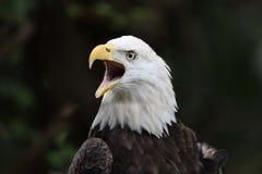 El águila calva fotografía de archivo
