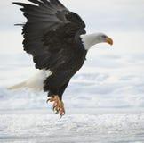 El águila calva aterrizada imagen de archivo