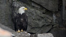 El águila calva se sienta en una roca metrajes