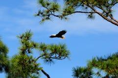 El águila calva vuela en maderas de pino Fotografía de archivo libre de regalías