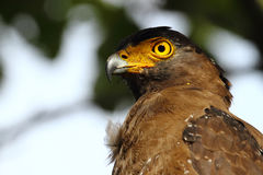 El águila con cresta de la serpiente Fotos de archivo libres de regalías
