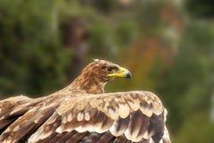 El águila consigue lista para el vuelo Fotos de archivo libres de regalías