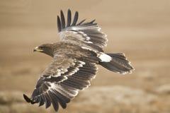 El águila de la estepa imagen de archivo