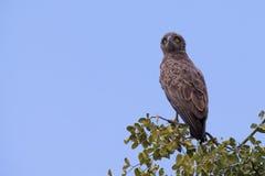 El águila de la serpiente de Brown con amarillo enojado observa esperar en perca Imagen de archivo