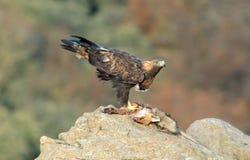 El águila de oro adulta come un zorro en las montañas Imágenes de archivo libres de regalías