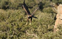 El águila de oro adulta vuela a través del bosque Fotos de archivo