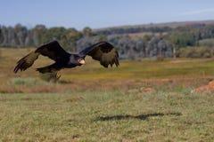 El águila de Verreaux Imagenes de archivo