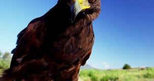El águila del halcón que se encarama encendido sirve la mano almacen de metraje de vídeo