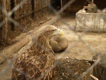 El águila en el parque zoológico Fotos de archivo libres de regalías