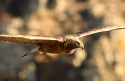 el águila real vuela a través de su territorio Foto de archivo