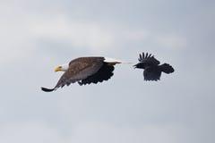 El águila y el cuervo Fotos de archivo libres de regalías
